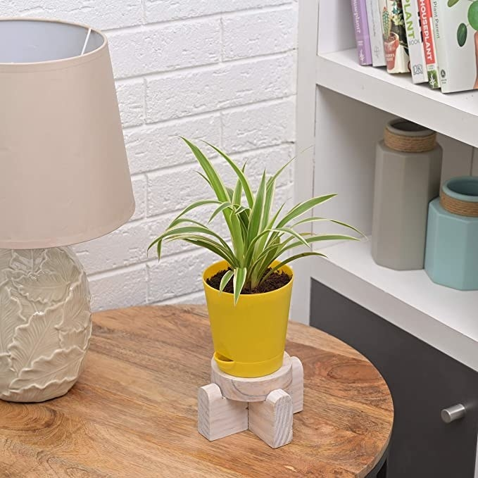 Spider plant in a yellow pot.