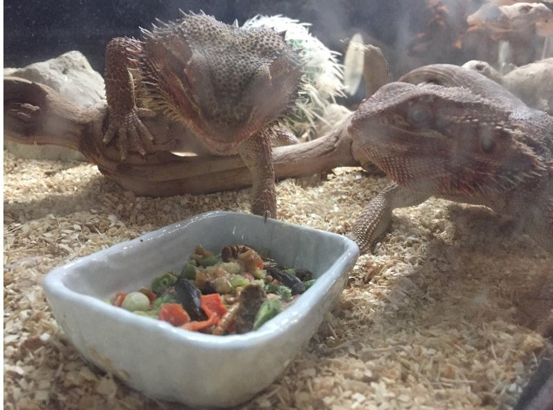 A reviewer's bearded dragons enjoying  a snack