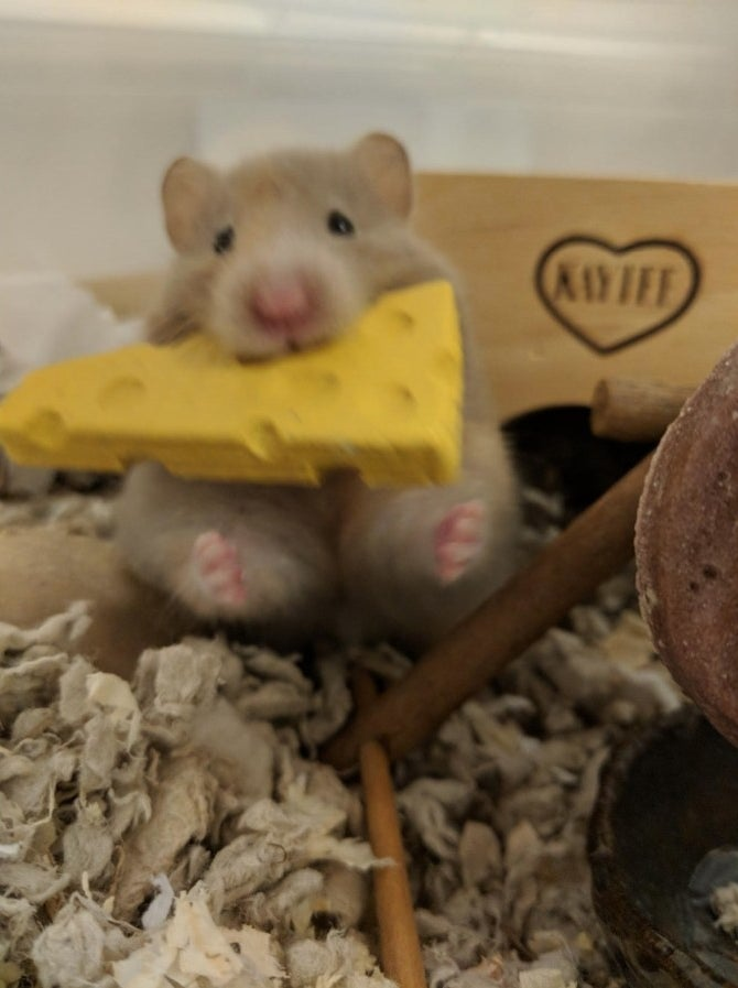 A reviewer's hamster enjoying the chew