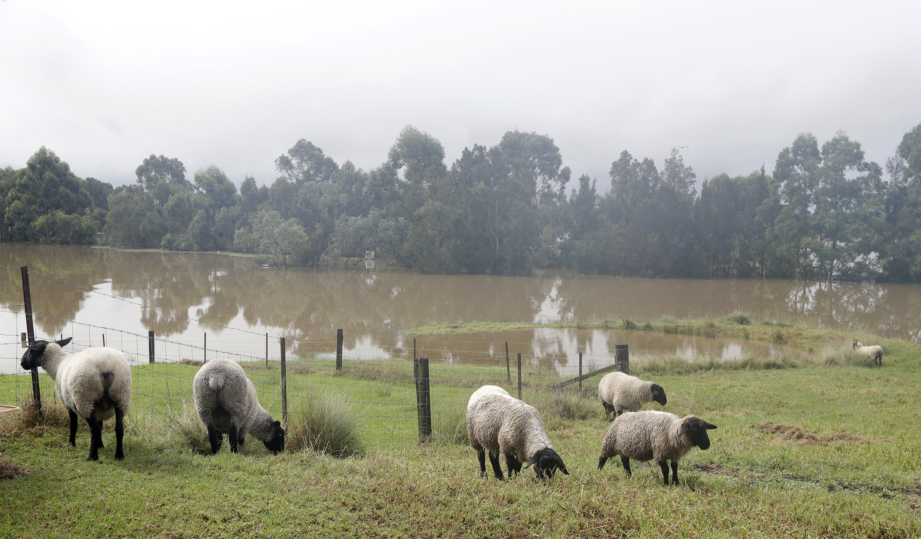 a flock of sheep on a hillside with a flood in the background