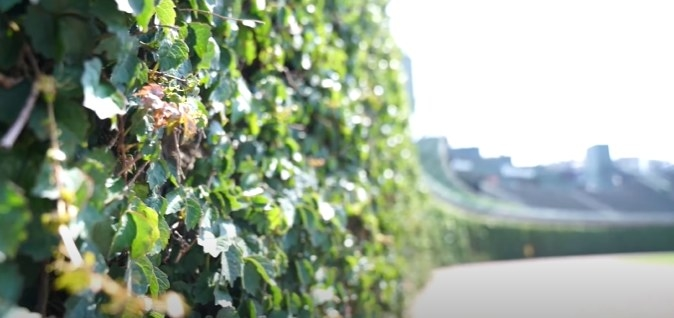 Ivy-covered walls stretching across Wrigley Field's outfield.