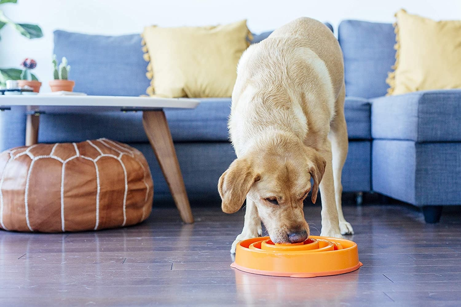 A yellow lab stands eating out of the slow feeder