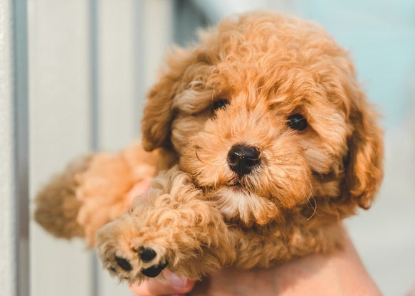 teddy bear like poodle puppy