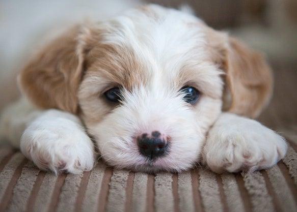 cavashon puppy