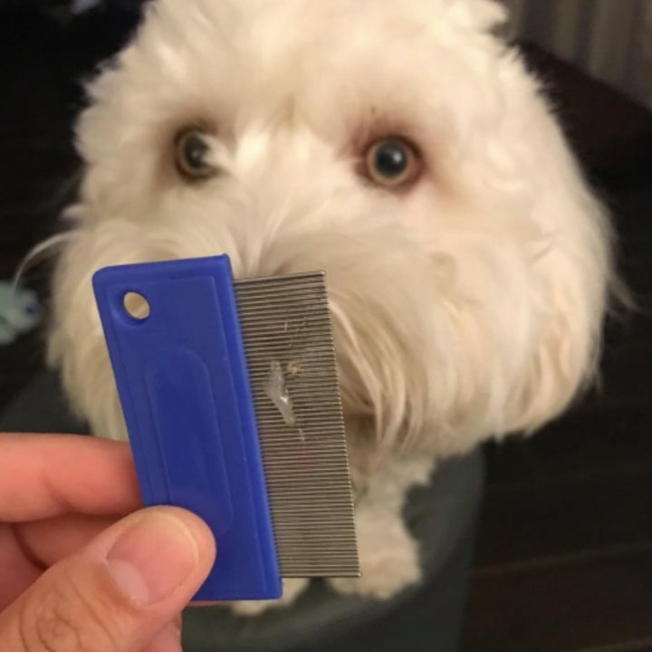 A dog staring at a tearstain comb