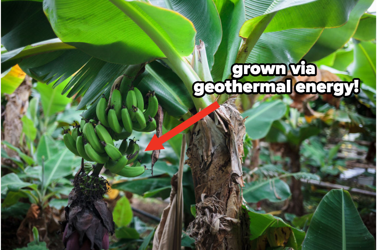 """Green bananas grow on a tree in a greenhouse with added text """"grown via geothermal energy!"""""""