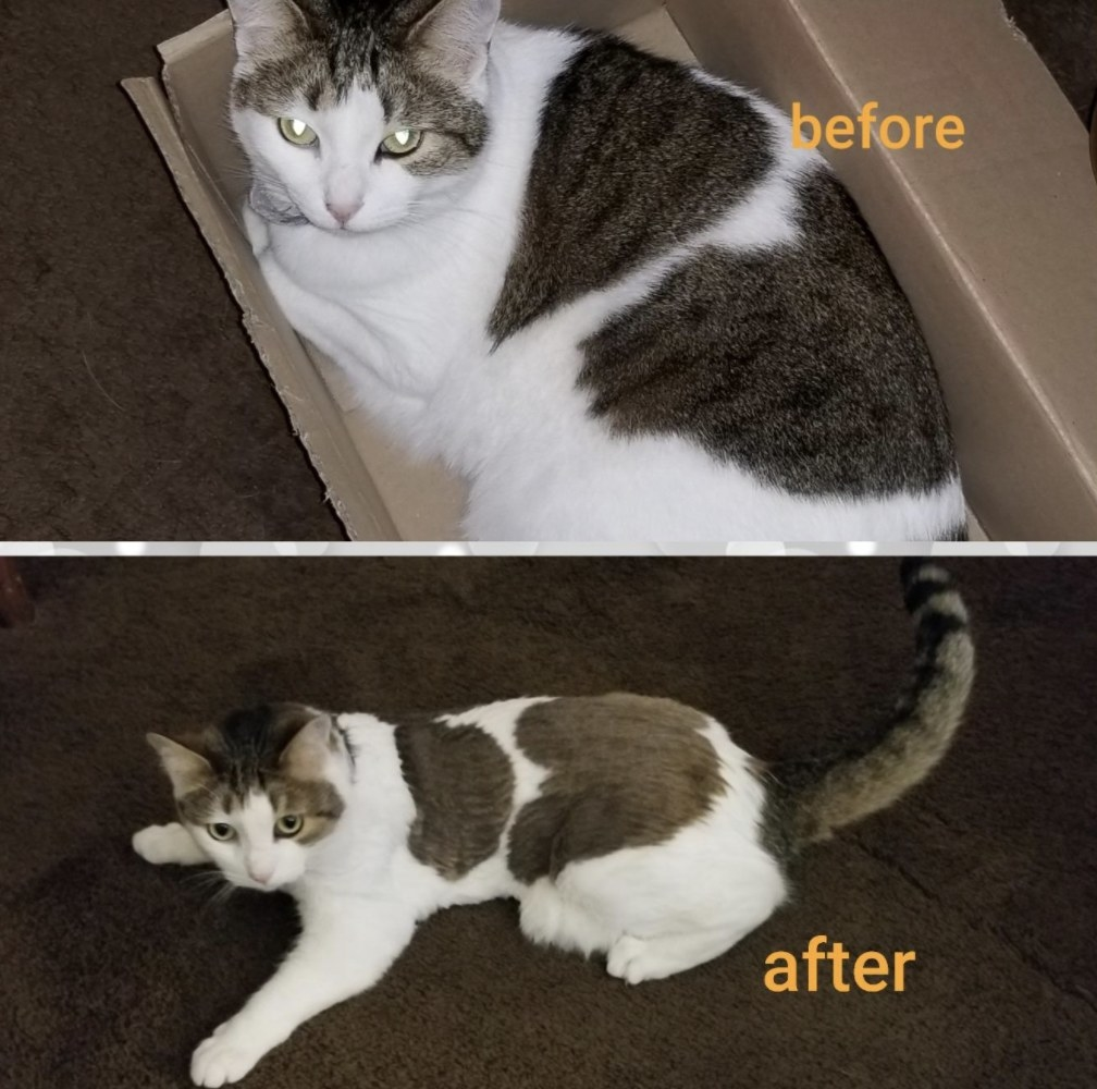 a cat before and after being shaved with an electric trimmer