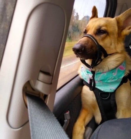 Reviewer's picture of their german shepherd with the muzzle leash