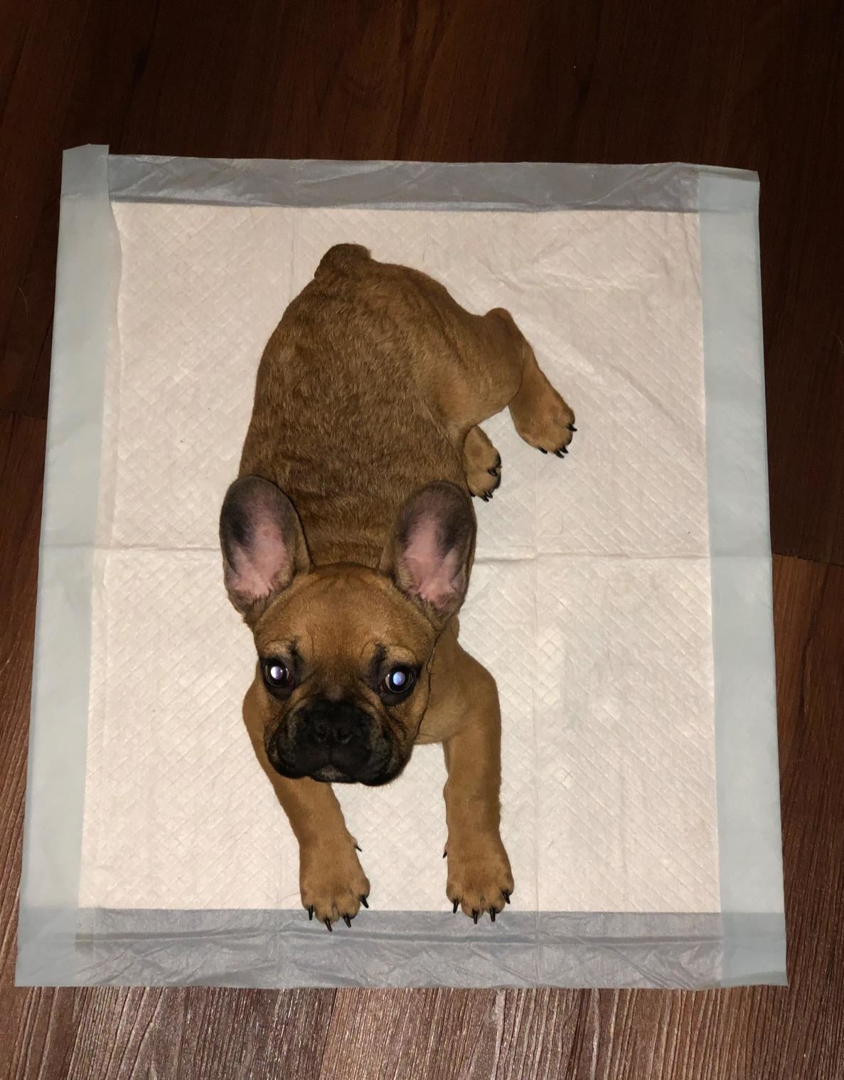 a Frenchie puppy on one of the pads