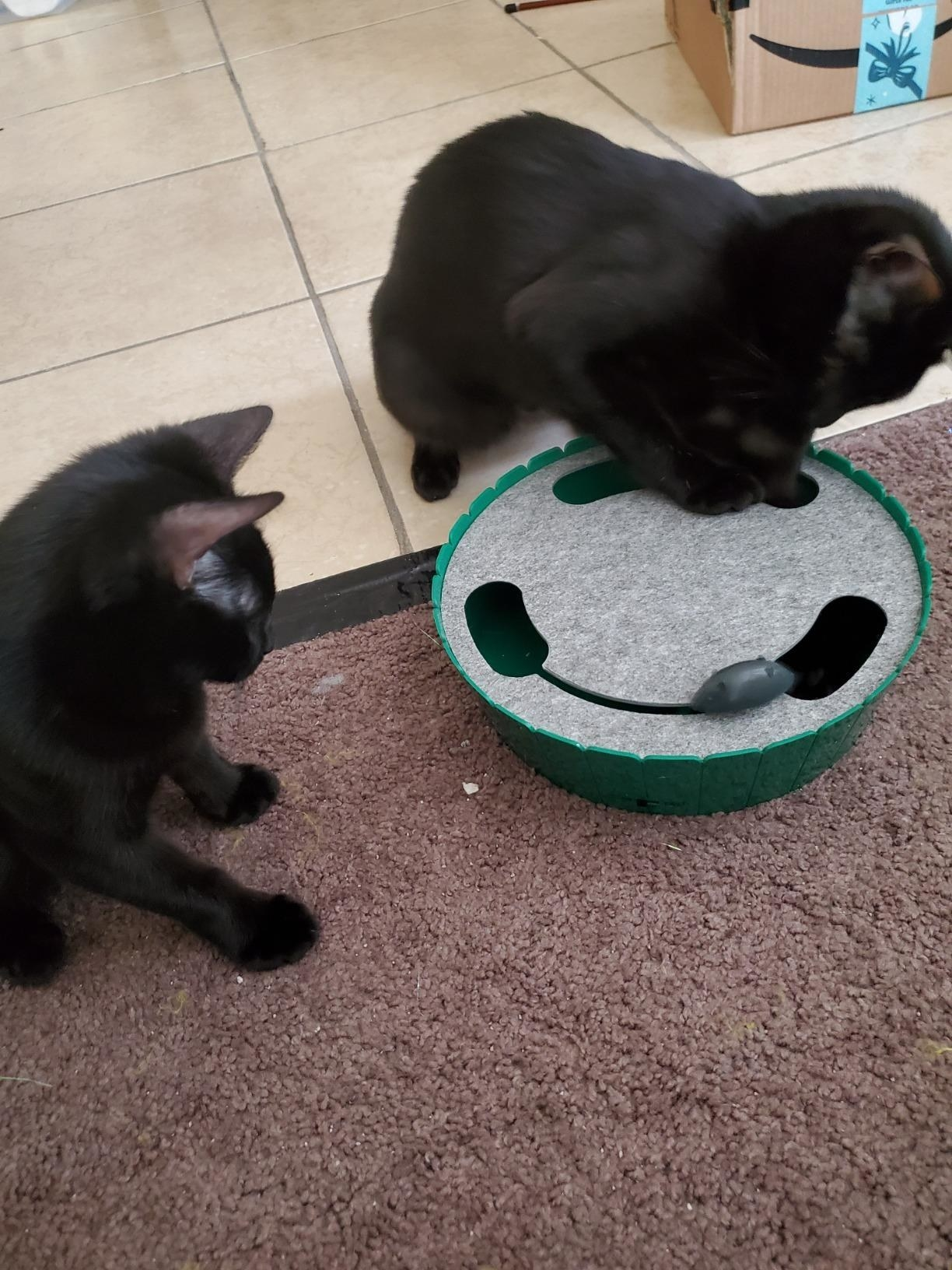Two cats play with the toy, which is round, with a top with a carpeted top with three large holes that the mouse emerges from