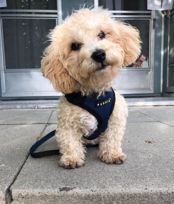 Reviewer's picture of their puppy in the harness leash