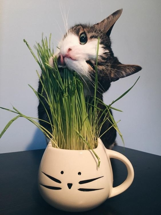 Reviewer's picture of their cat eating the grass