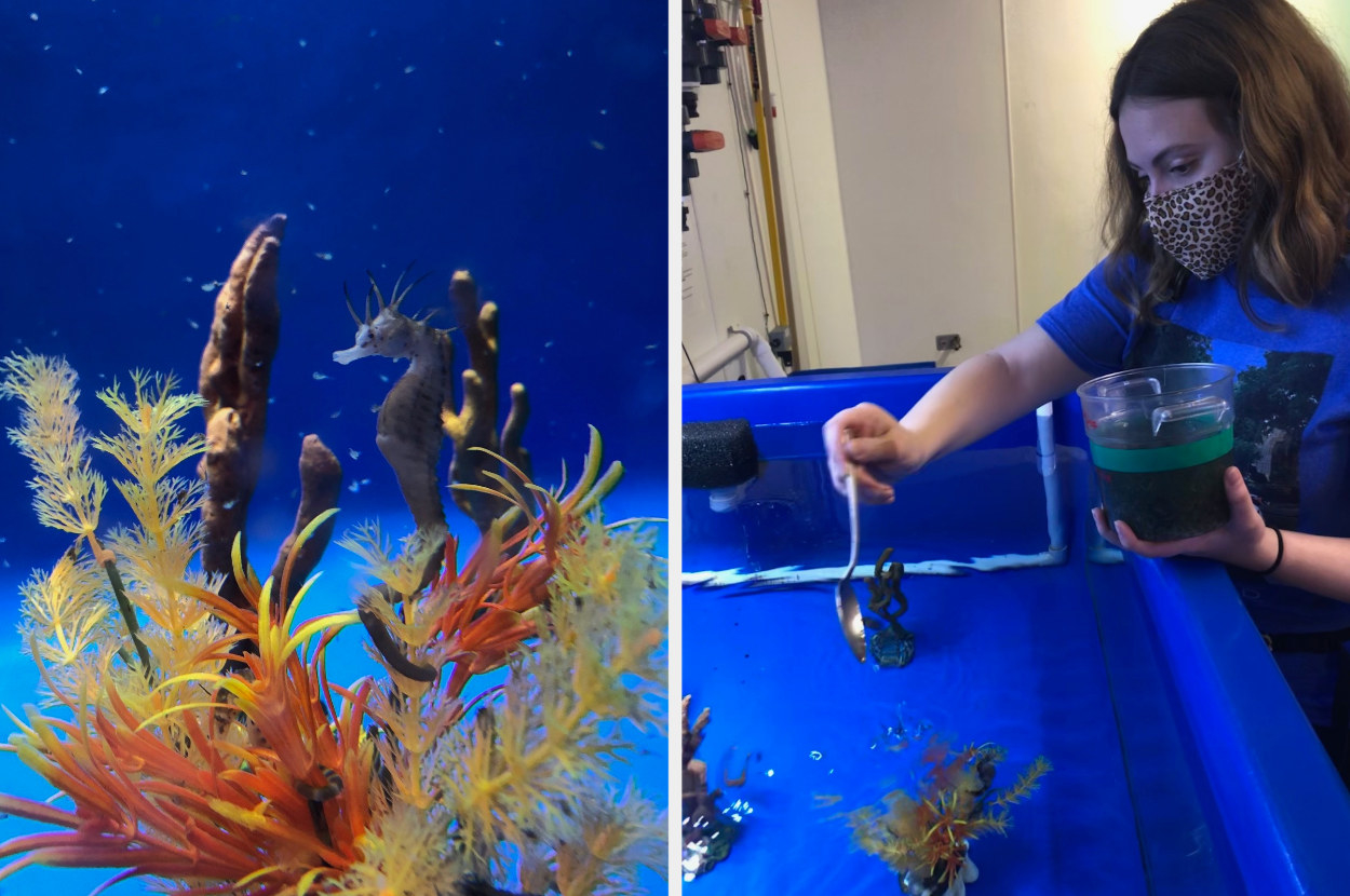 Seahorse swimming, next to a woman above a fish tank dropping in food