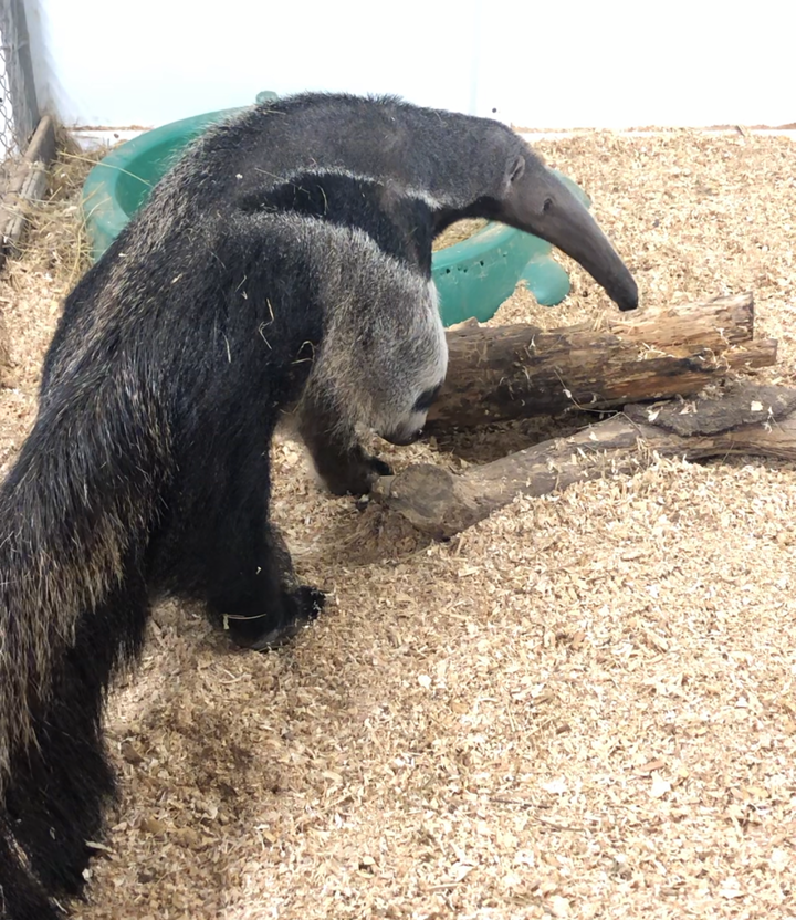 Giant anteater walking around