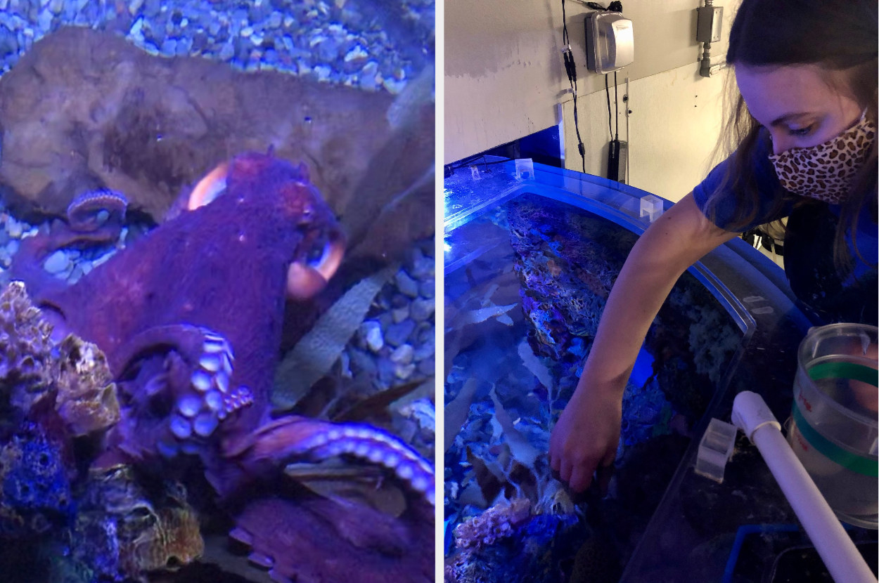 Giant Pacific Octopus swimming up, next to a woman putting her hand in a large aquatic tank