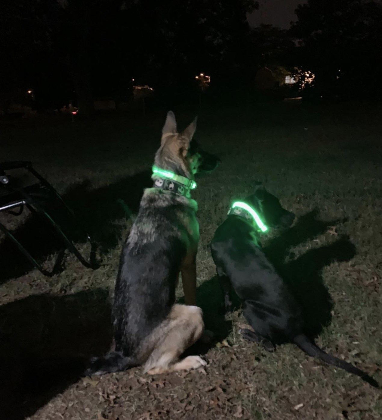two dogs wearing LED collars