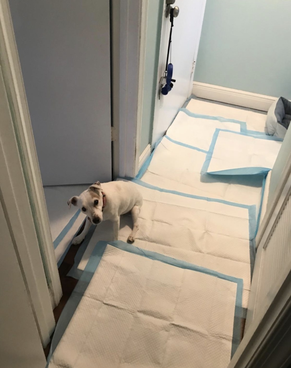 a dog in a hallway covered in wee wee pads