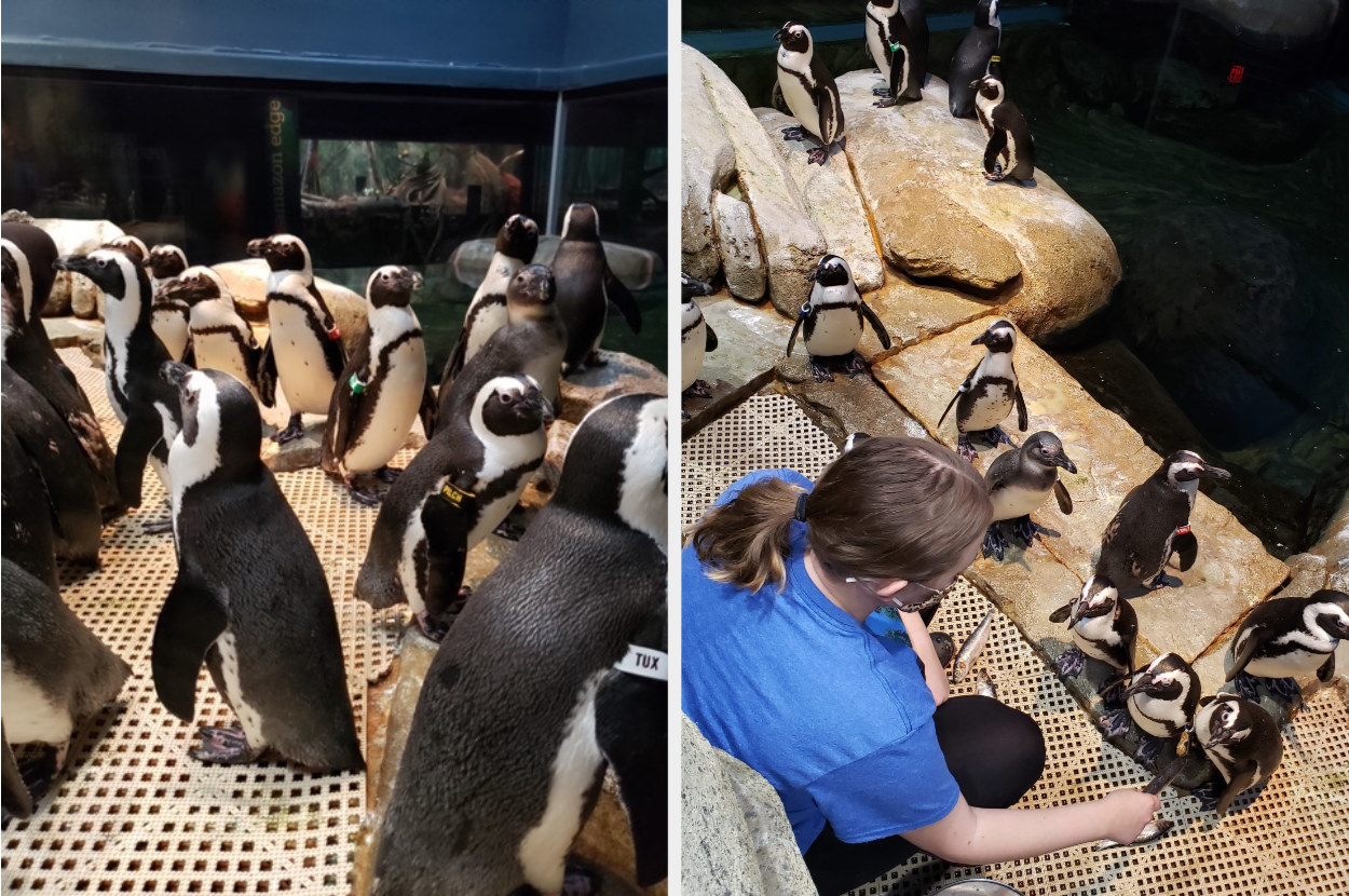 Penguins wondering around, next to a woman feeding them