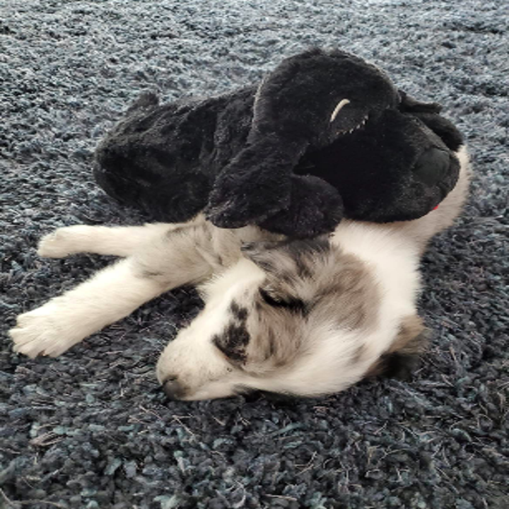 Reviewer's Australian shepherd puppy with the toy dog on top of it while napping
