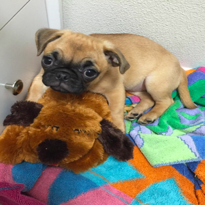 Reviewer's pug puppy sitting on top of the plush dog toy