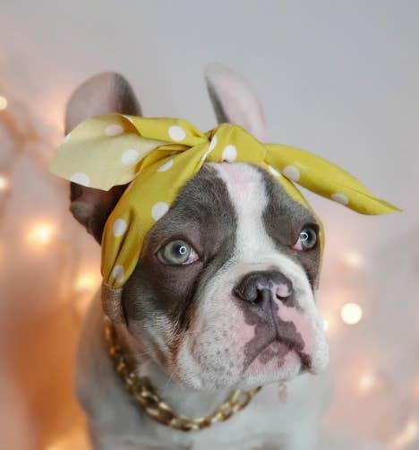 Dog with upright ears wearing a yellow polka dot bow bandana headband on its head