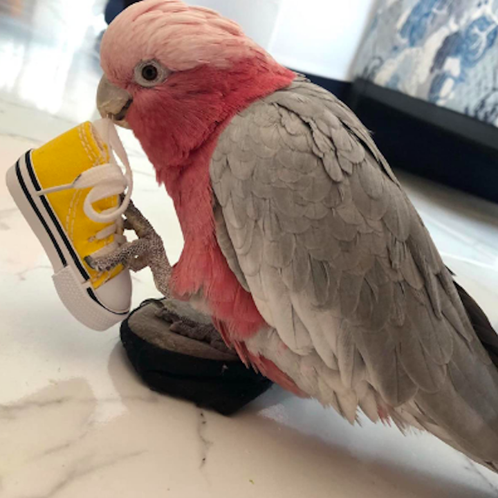 Bird holding shoe in their claw while biting the laces