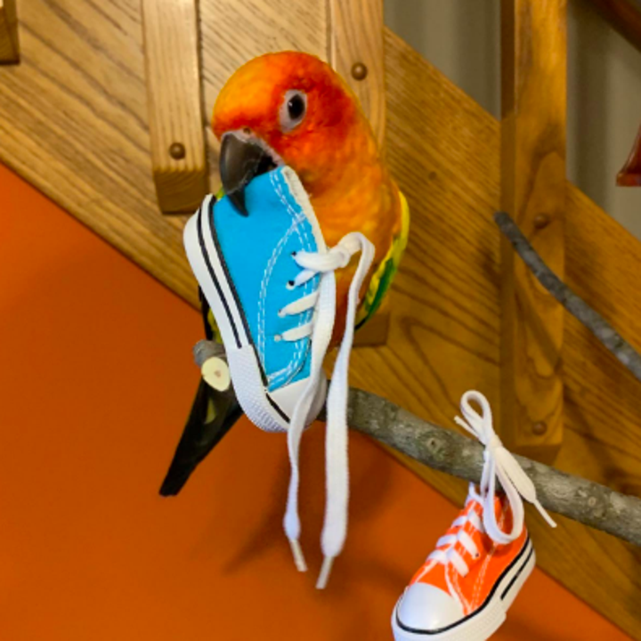 Colorful small bird biting one shoe while the other hangs by the laces on a perch