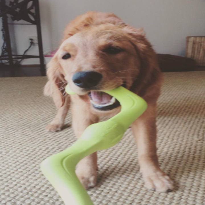 Golden retriever pulling the toy from its owner