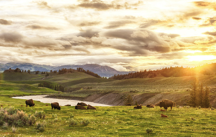 A small herd of buffalo grazing next to a river in Yellowstone National Park