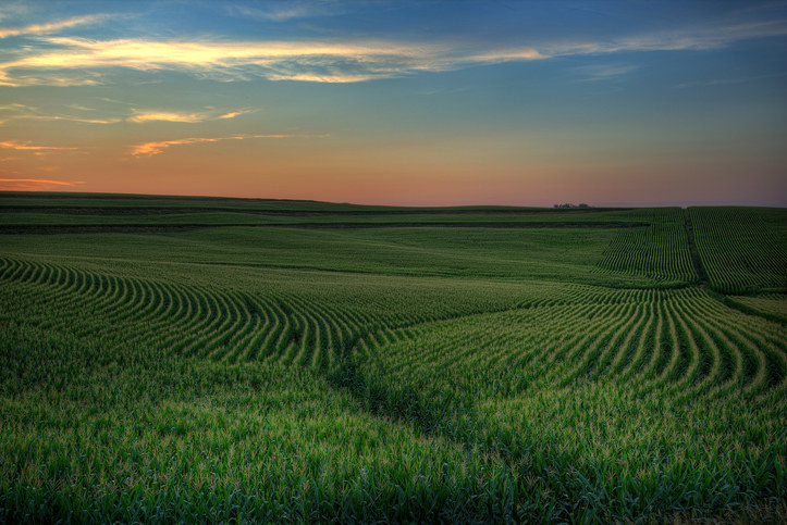 A huge corn field in Iowa, stretching as far as the eye can see