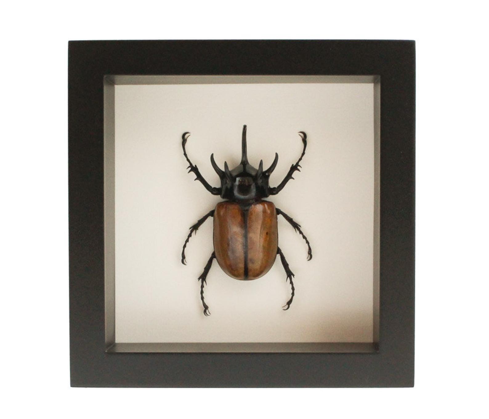 a rhino beetle in a black frame