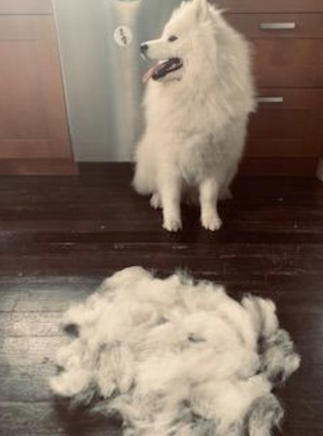 A reviewers pet after they used the rake to remove it's excess fur