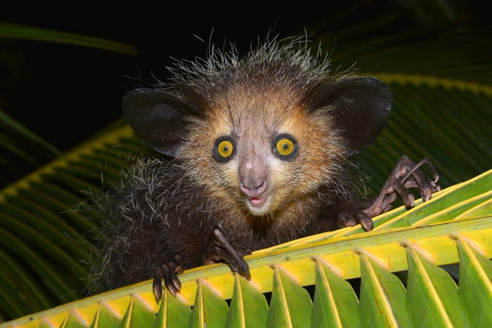 An animal with piercing yellow eyes, long spindly fingers, and messy grey and black hair