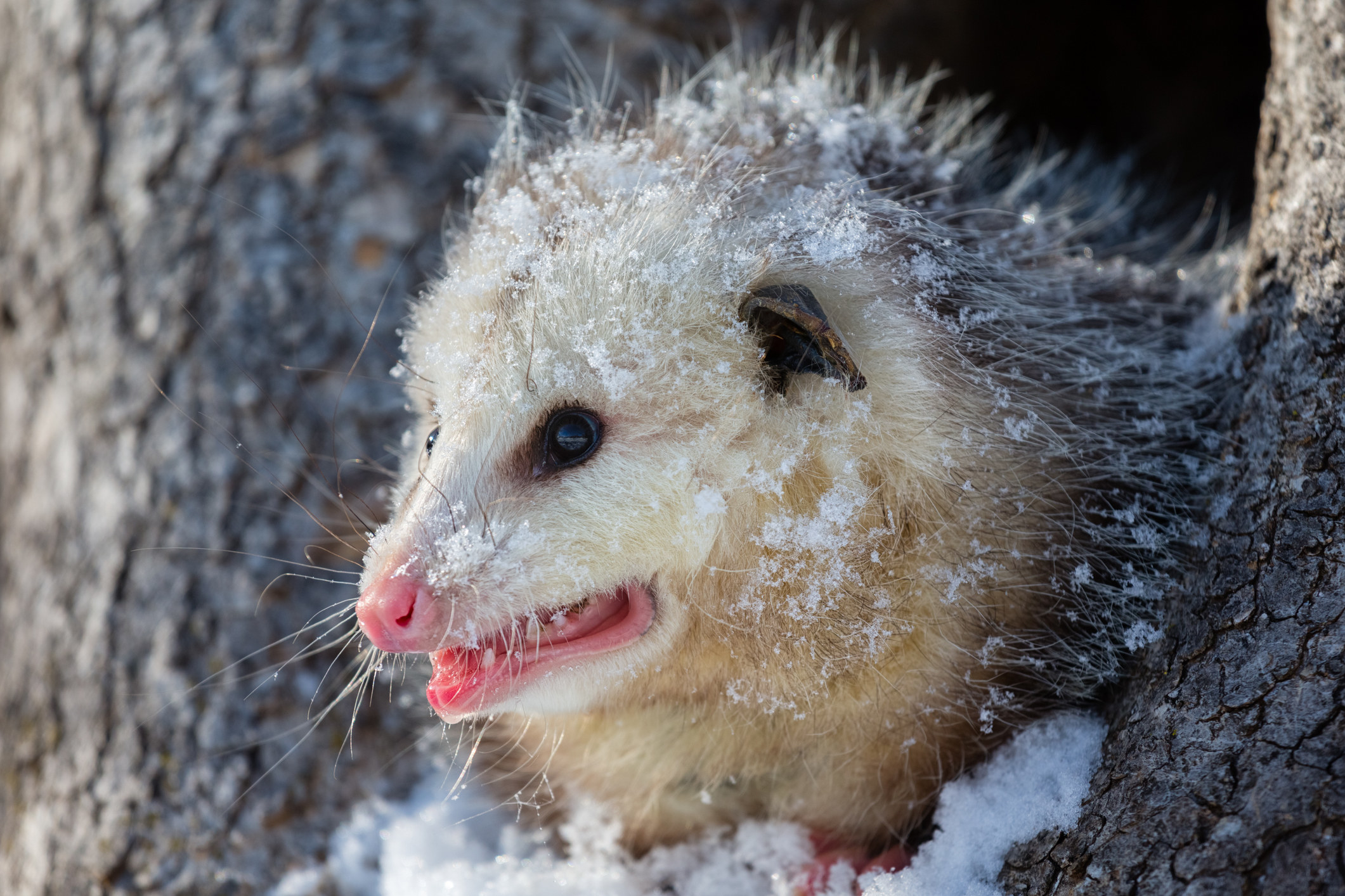 A pointy faced, beady eyed opossum in the snow