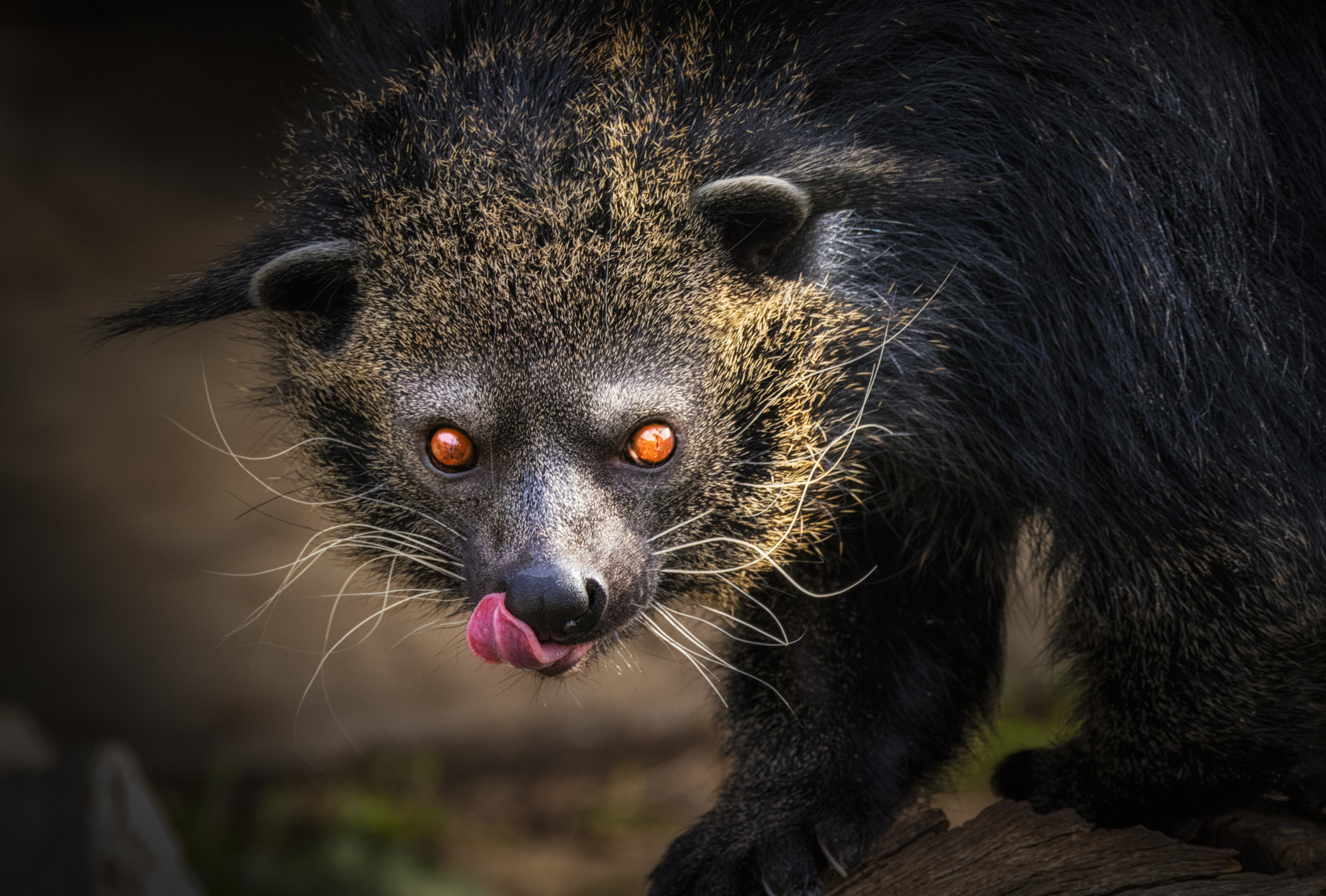 A red eyed animal with messy whiskers and fur