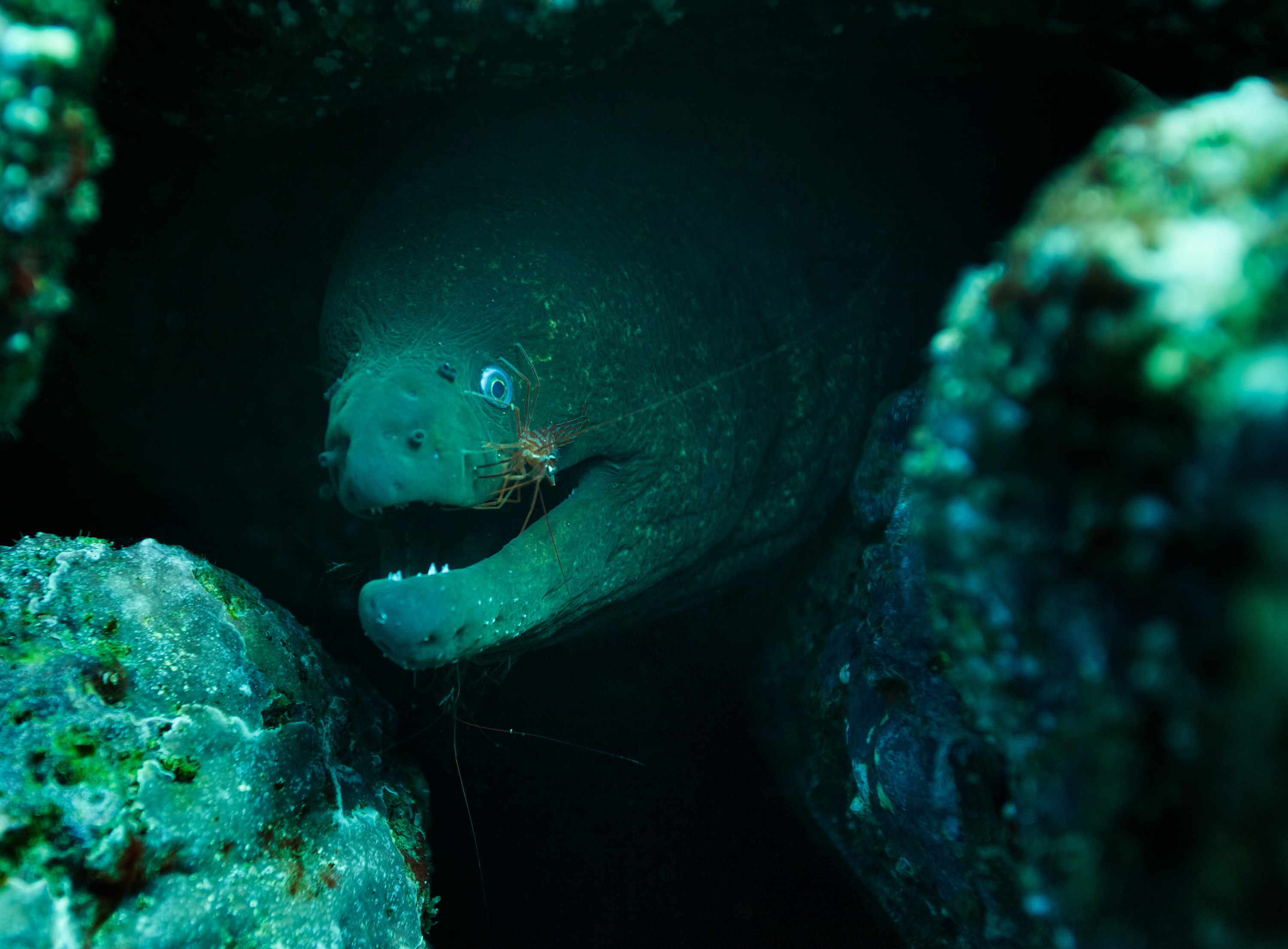 A shrimp grazing the skin of an eel tucked in between some rocks