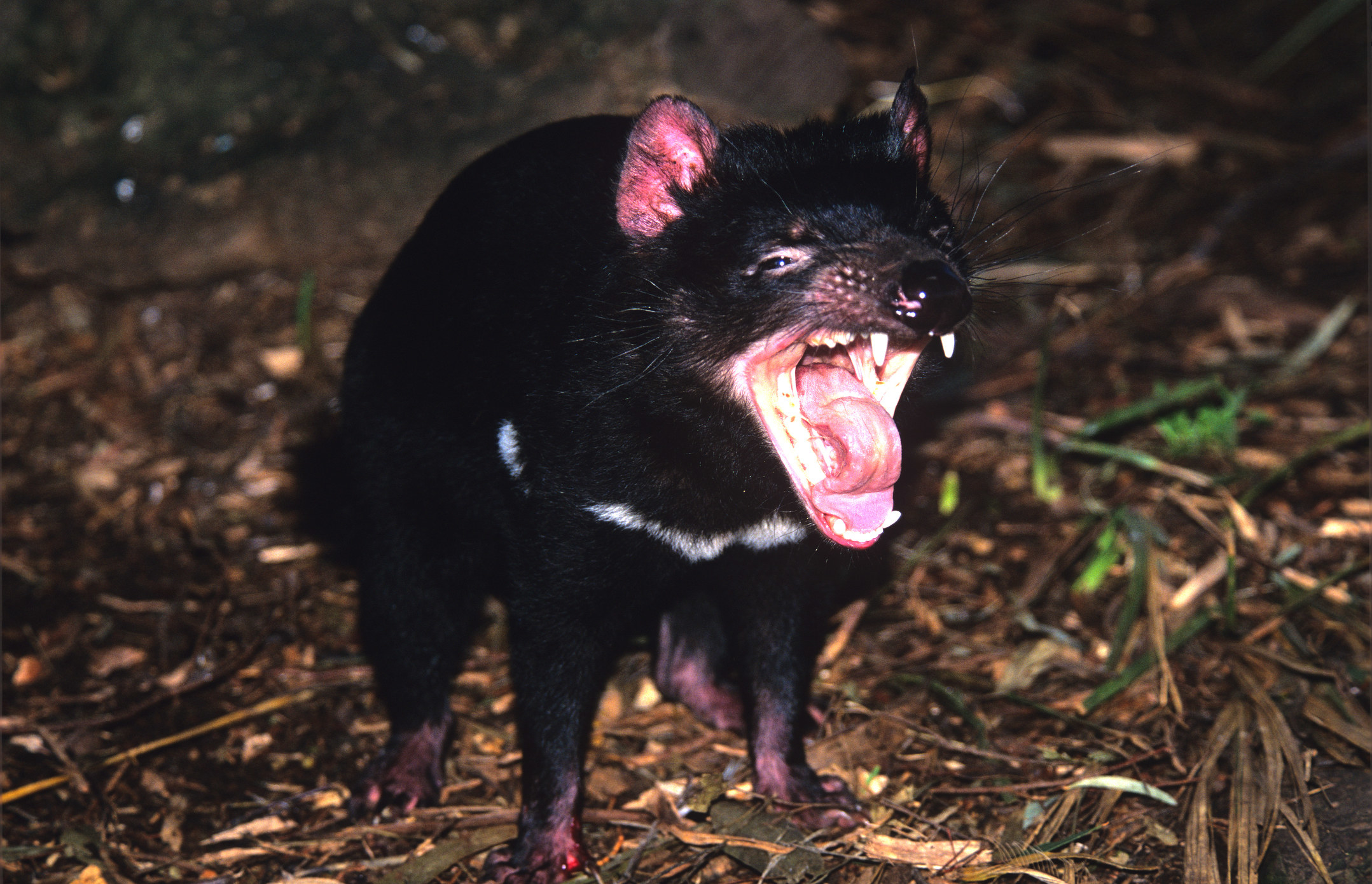 A Tasmanian devil opening its jaw and showing its sharp teeth
