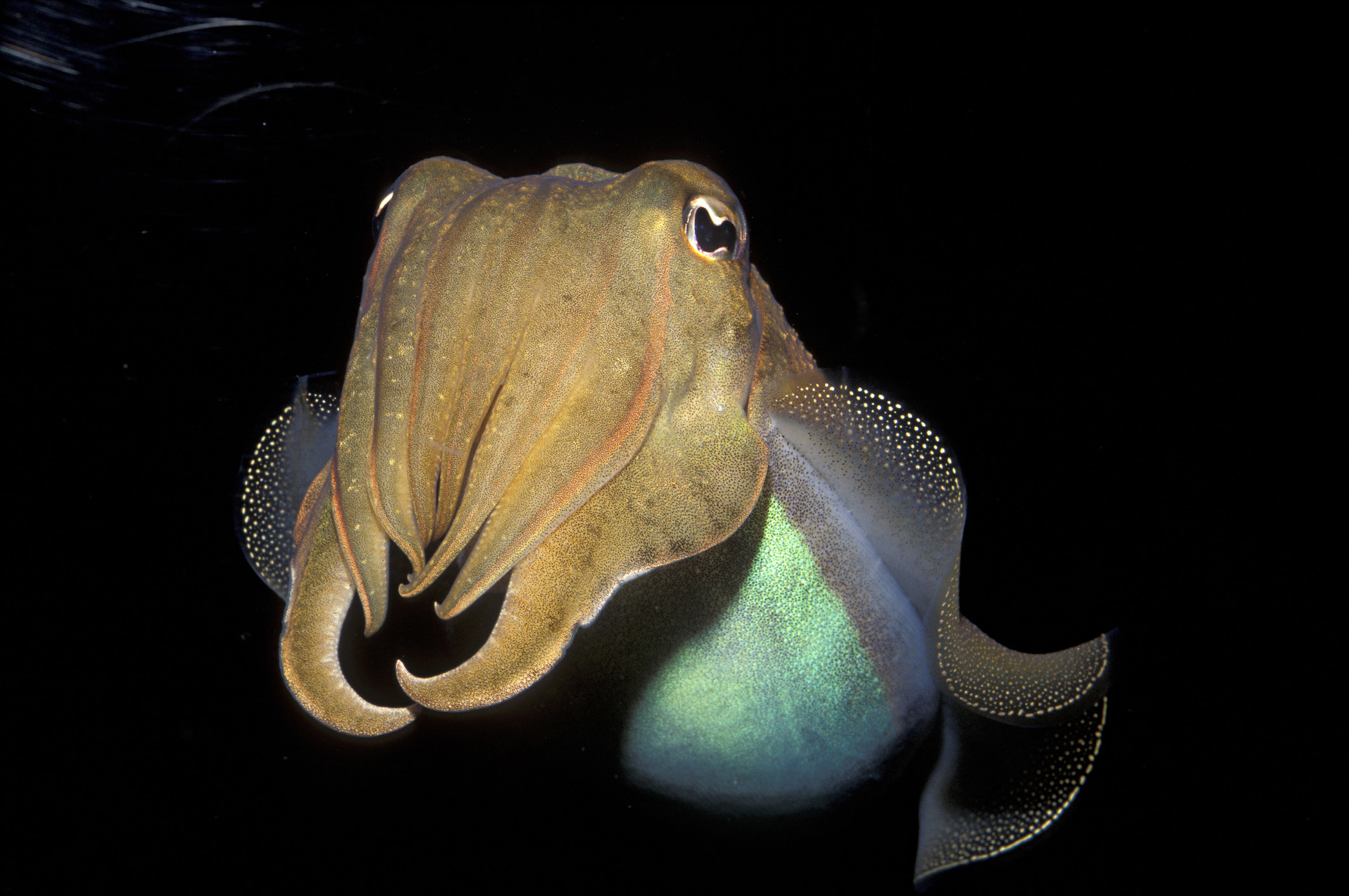 An octopus looking fish droopy eyes and fins that look like a beard