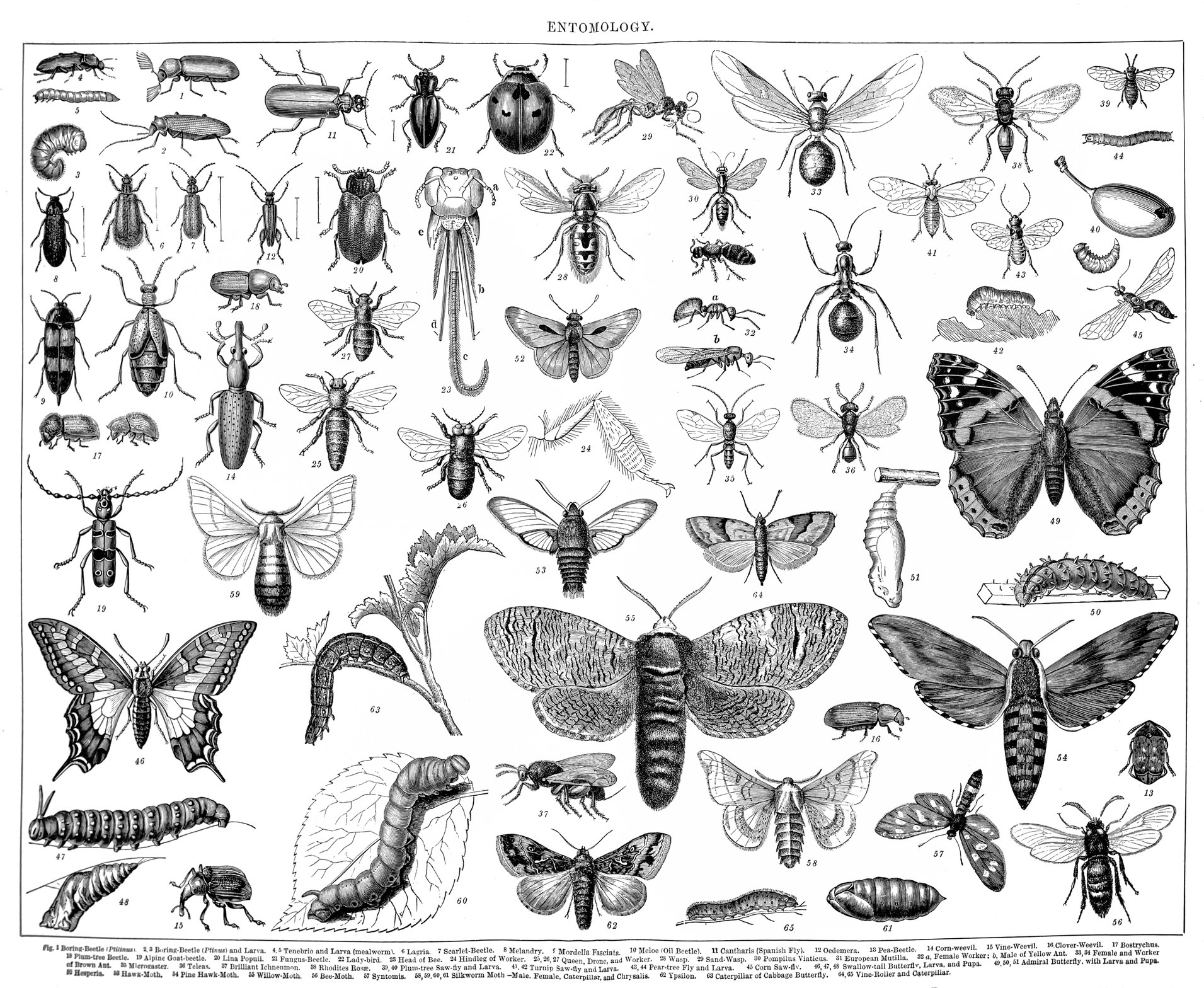 A vintage chart of insects.