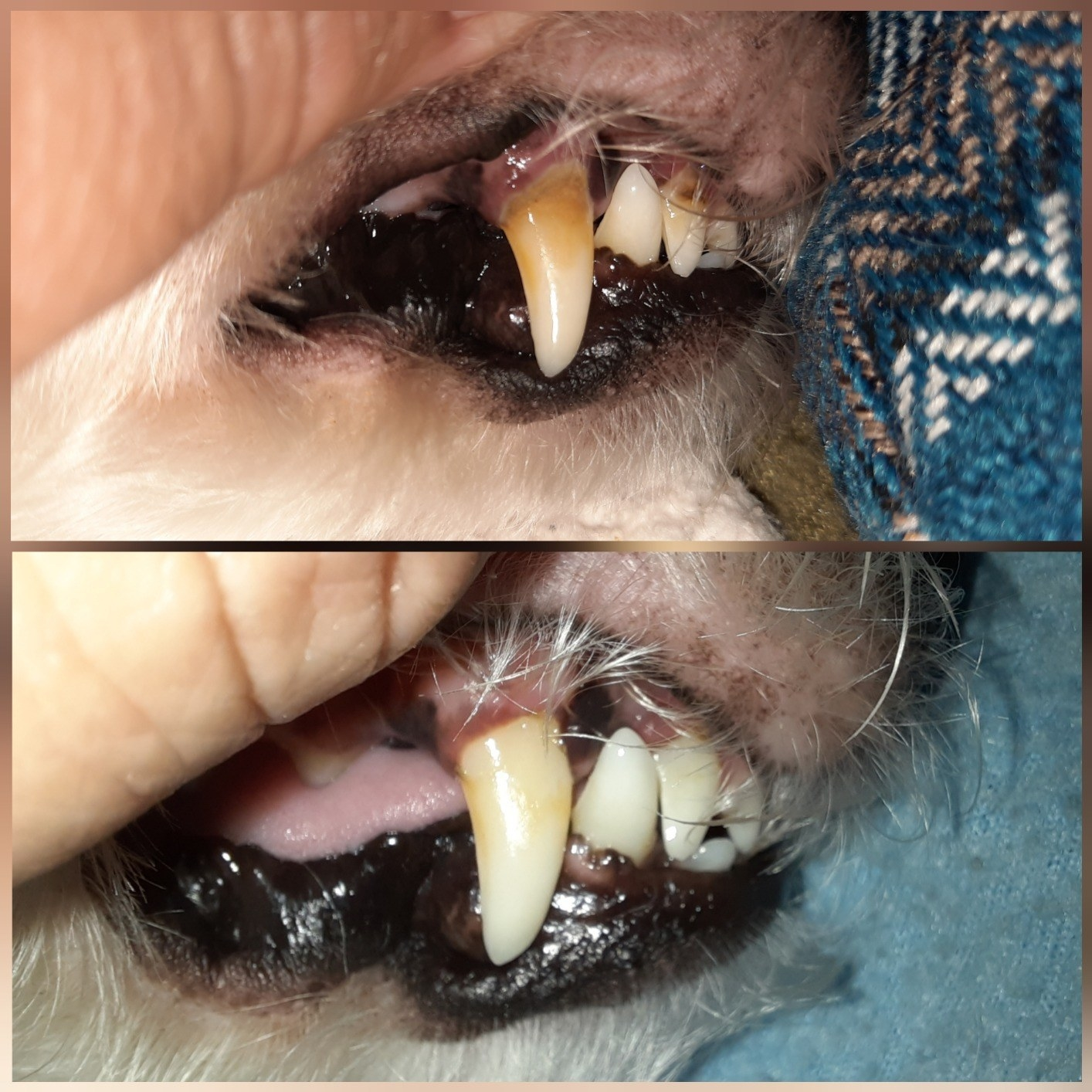 Before and after of dog's dark yellow canine that looks significantly whiter and has much of the plaque removed