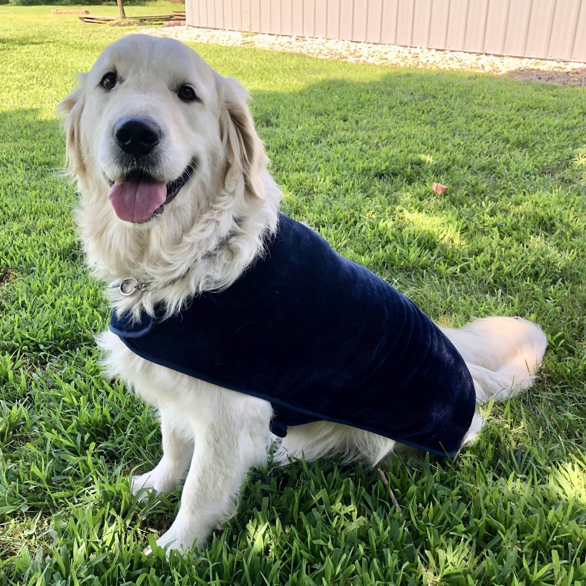 Large golden retriever wearing the blue poncho