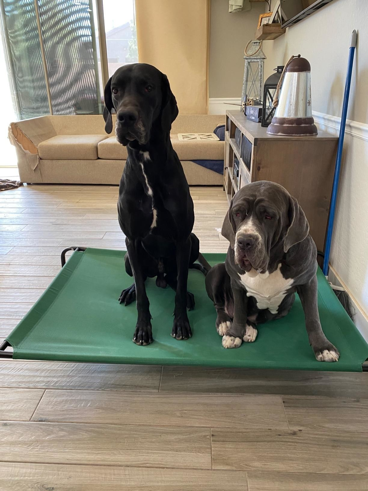 Two large dogs sit comfortably on the bed, which is elevated and has a metal frame