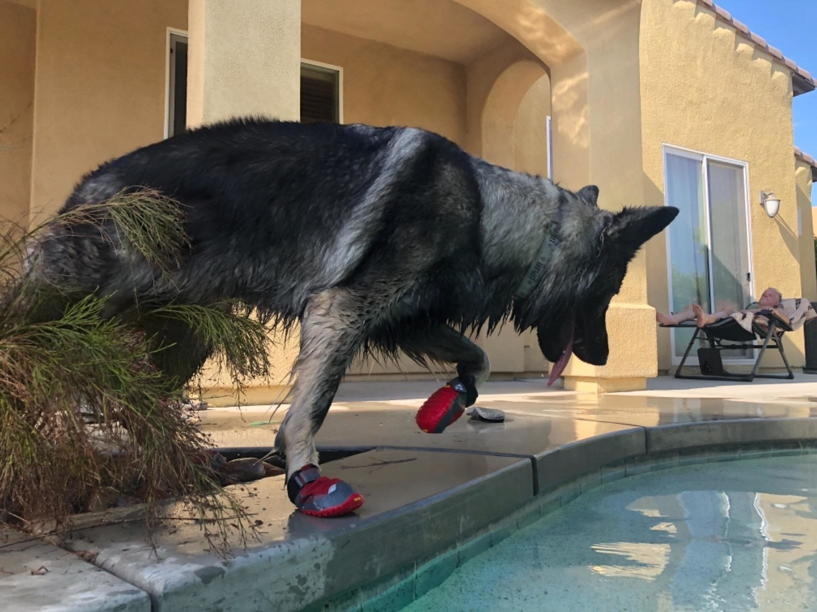 A dog wearing the booties, which go up to the ankle