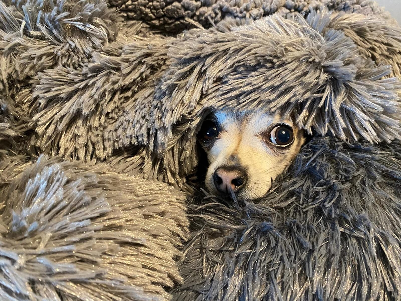 small dog's face peeking out from the very fuzzy gray throw