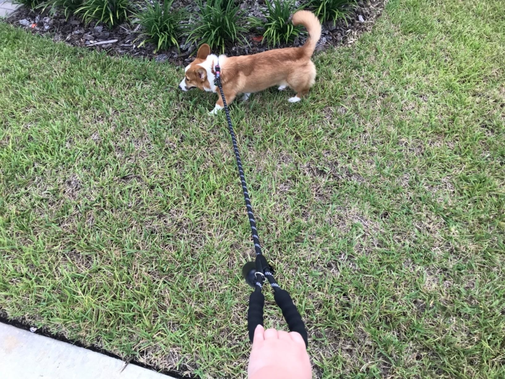 A person uses the leash while their dog pulls on it