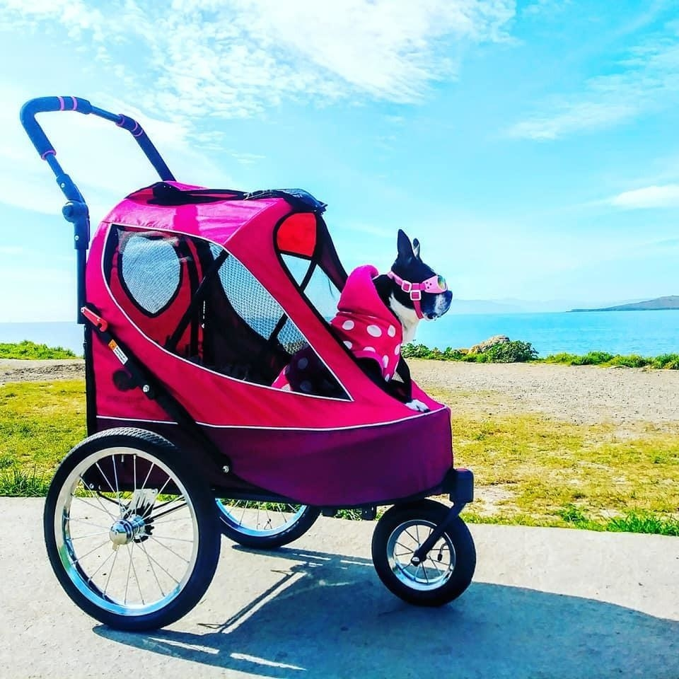A dog in the stroller