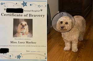 A Certificate of Bravery from a vet, and a dog wearing a cone