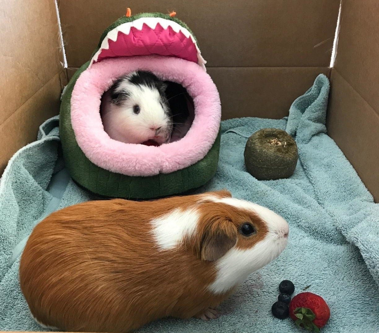 Guinea pigs in a cage with the crocodile mouth-shaped bed