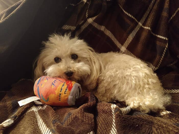 A small dog with the toy, which is shaped like a can and is slightly smaller than the dog's head