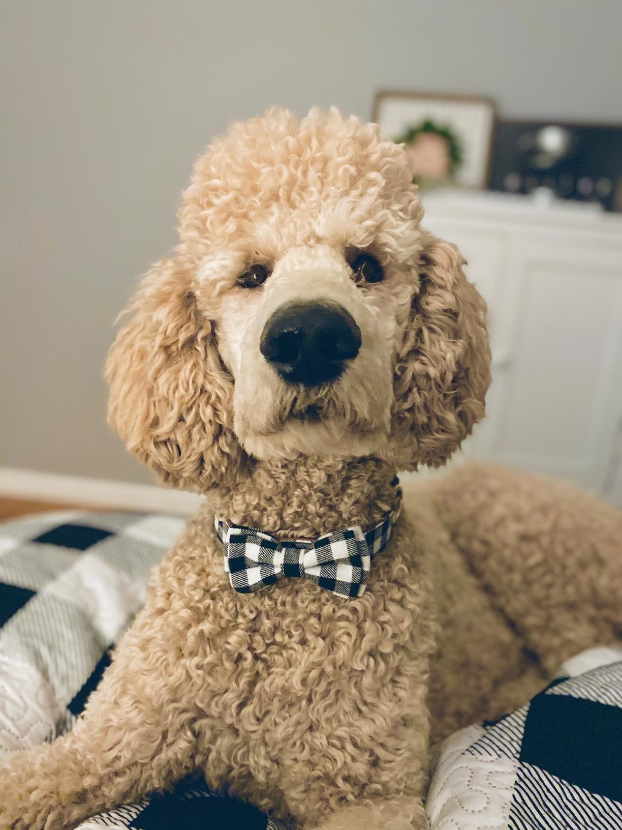 The bow tie in black and white check print